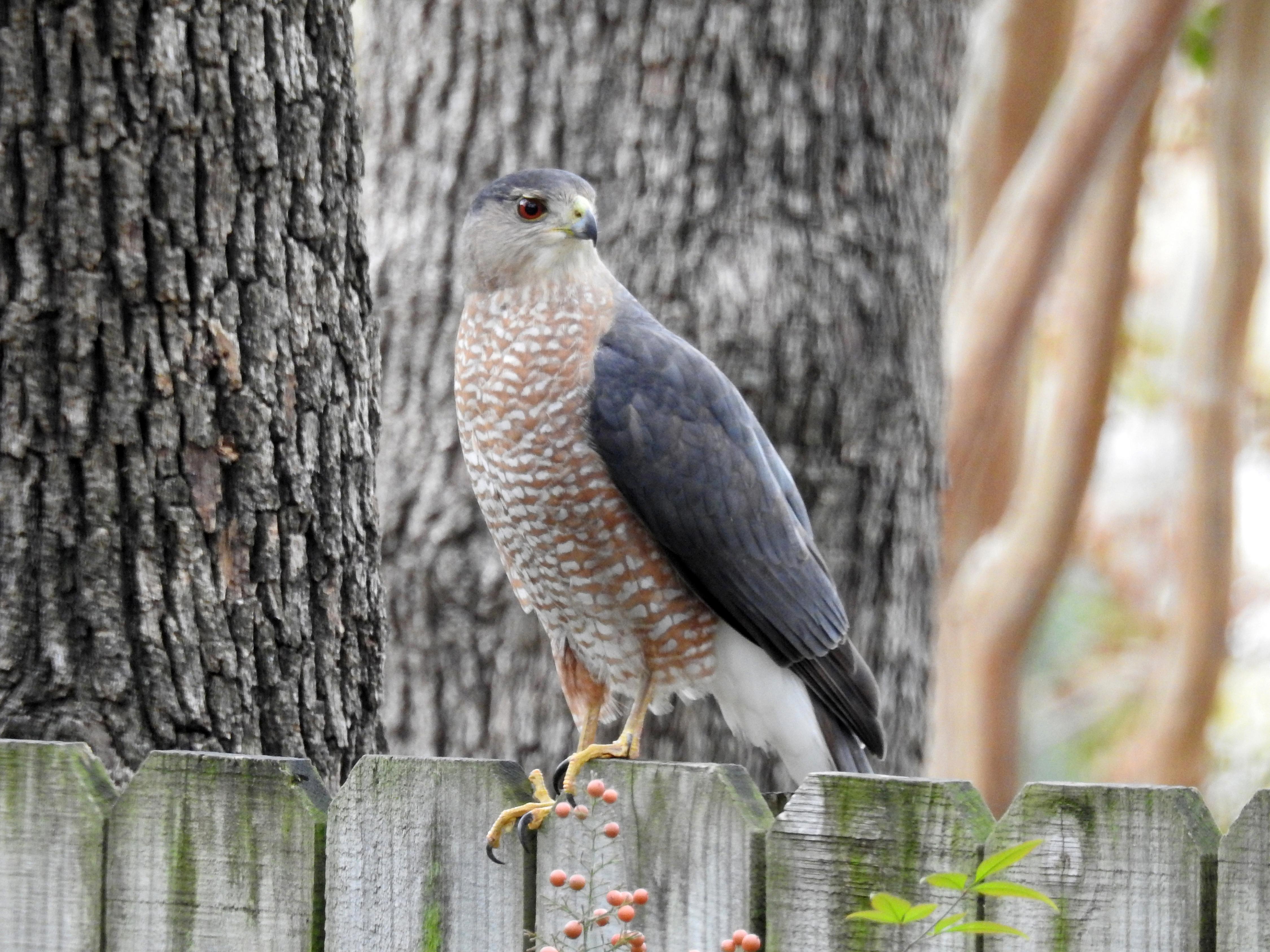 Divine Inspiration Photo #1A - Adult Cooper's Hawk - 8 x 10