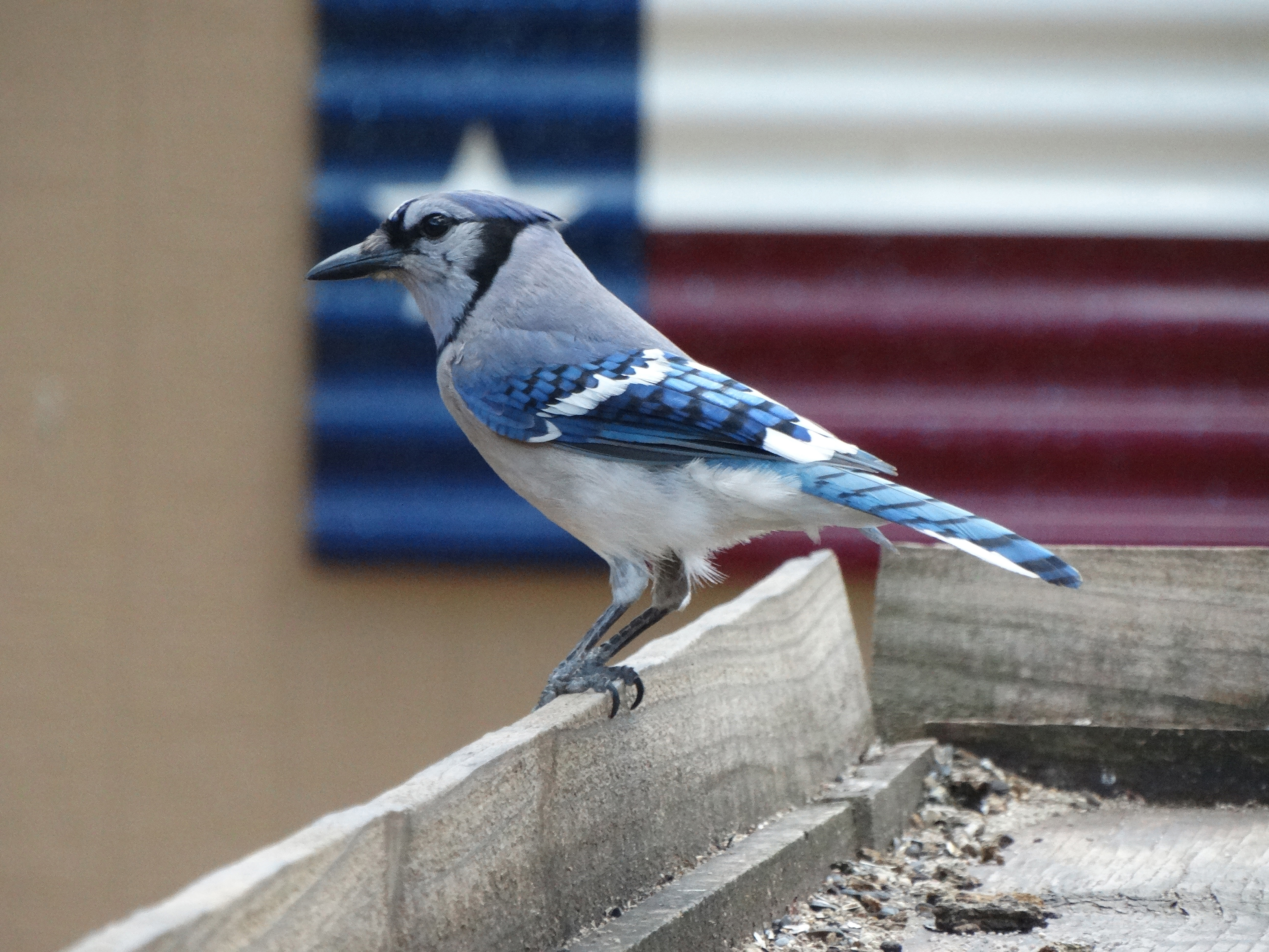 Divine Inspiration Photo #4A - Blue Jay Demonstrating Texas Pride - 8 x 10