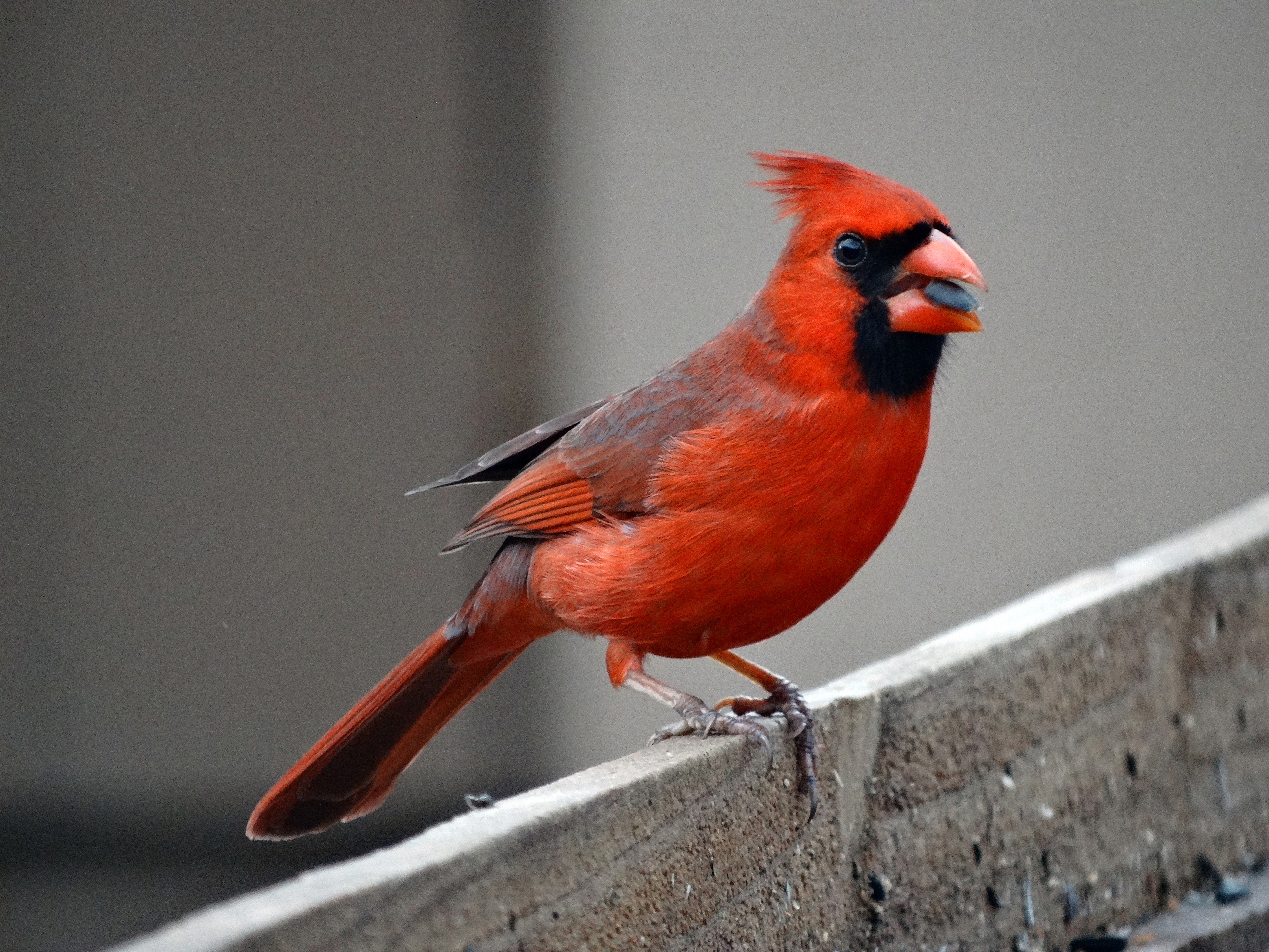 Divine Inspiration Photo #6A - Northern Cardinal Enjoying Sunflower Seed - 8 x 10