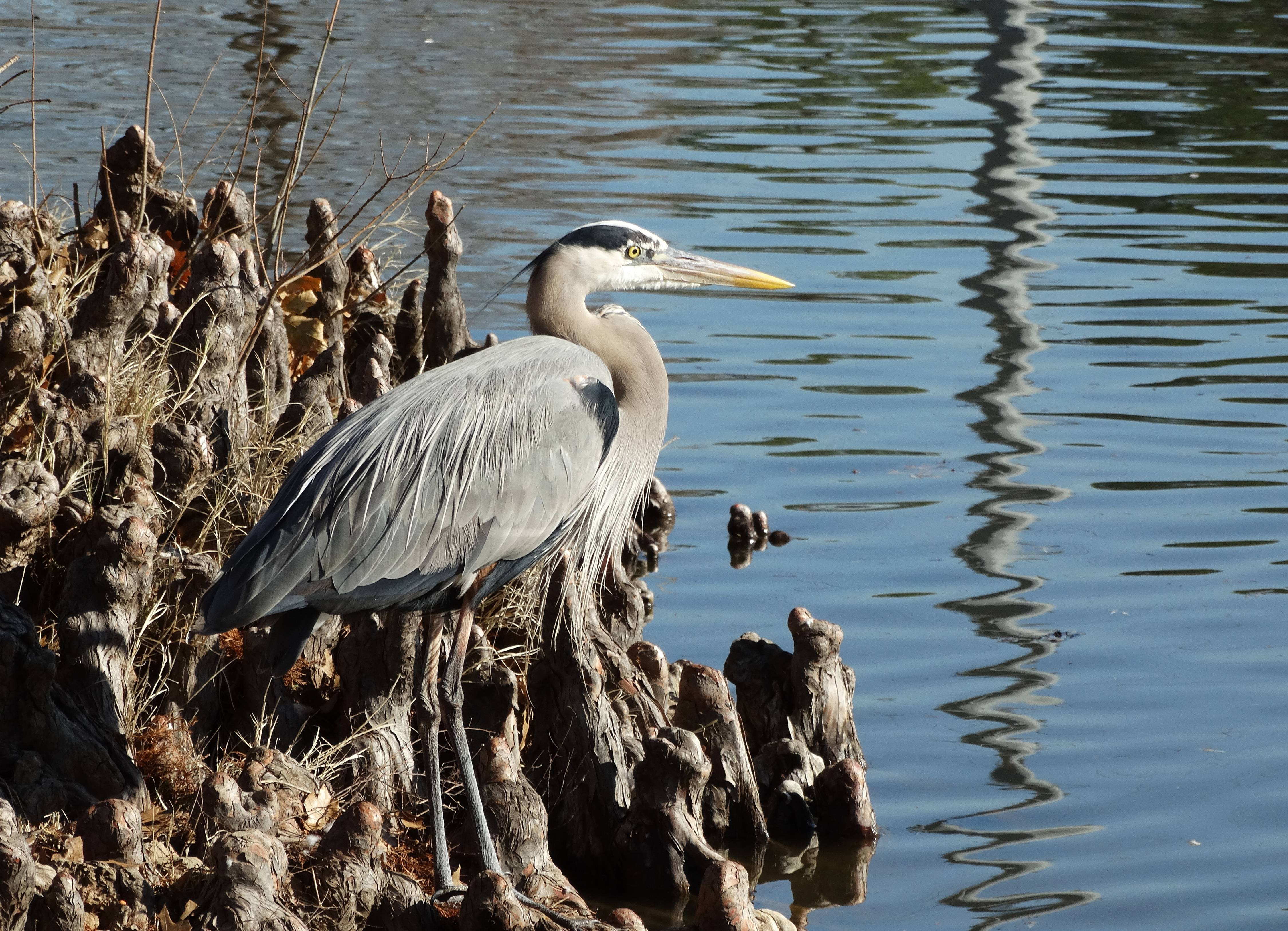Divine Inspiration Photo #3A - Great Blue Heron - 8 x 10