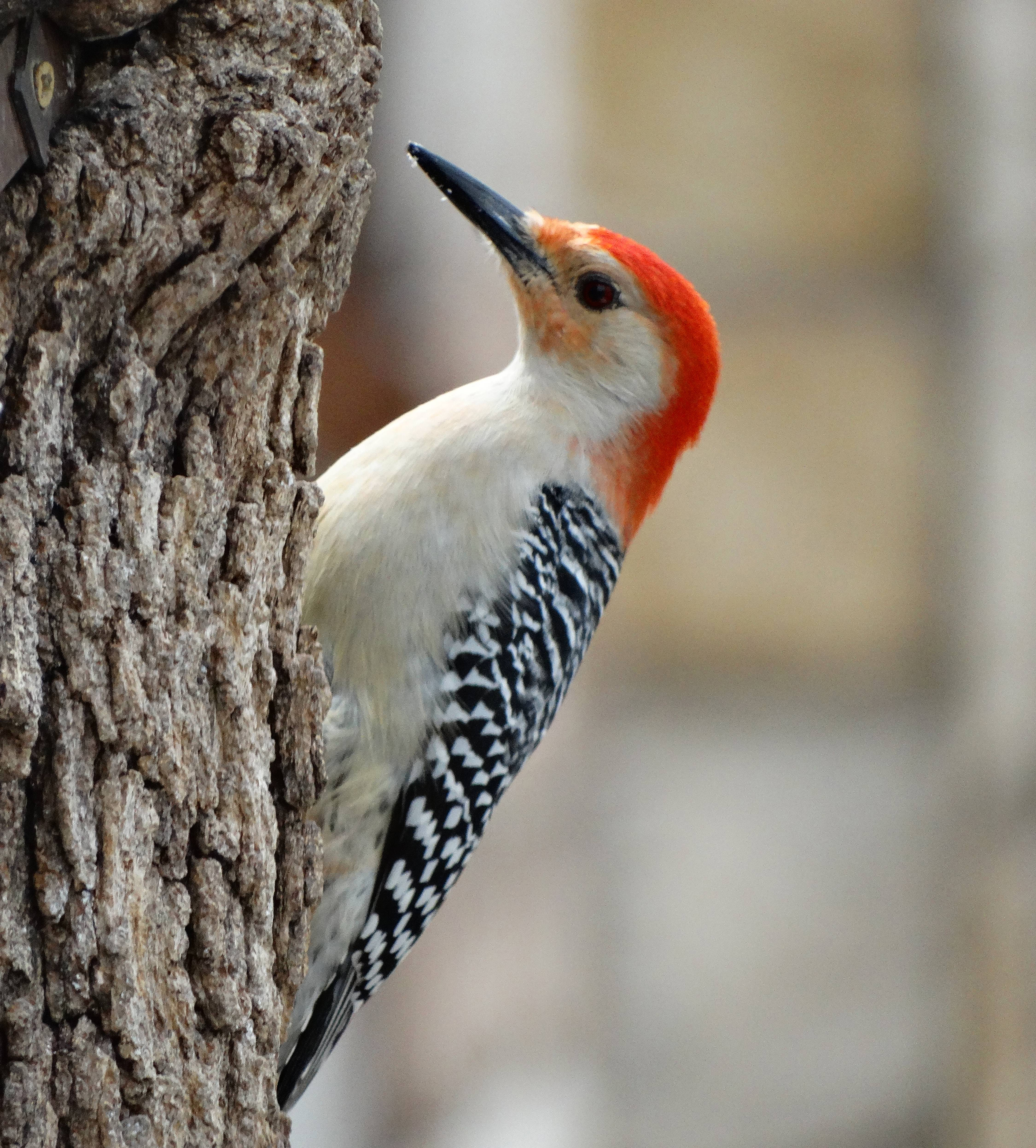Divine Inspiration Photo #18A - Red-Bellied Woodpecker -    8 x 10