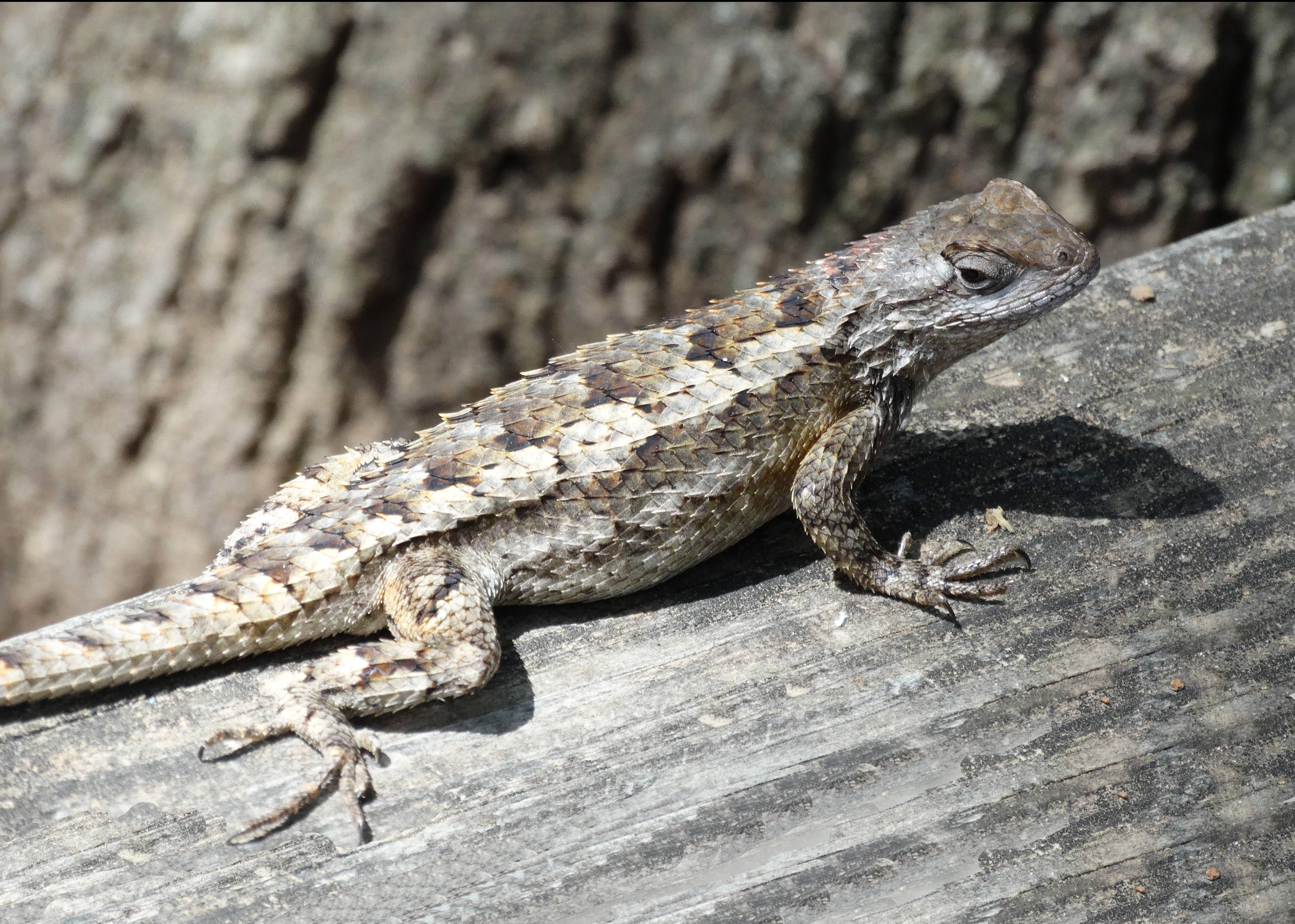 Divine Inspiration Photo #12A - Texas Spiny Lizard - 8 x 10