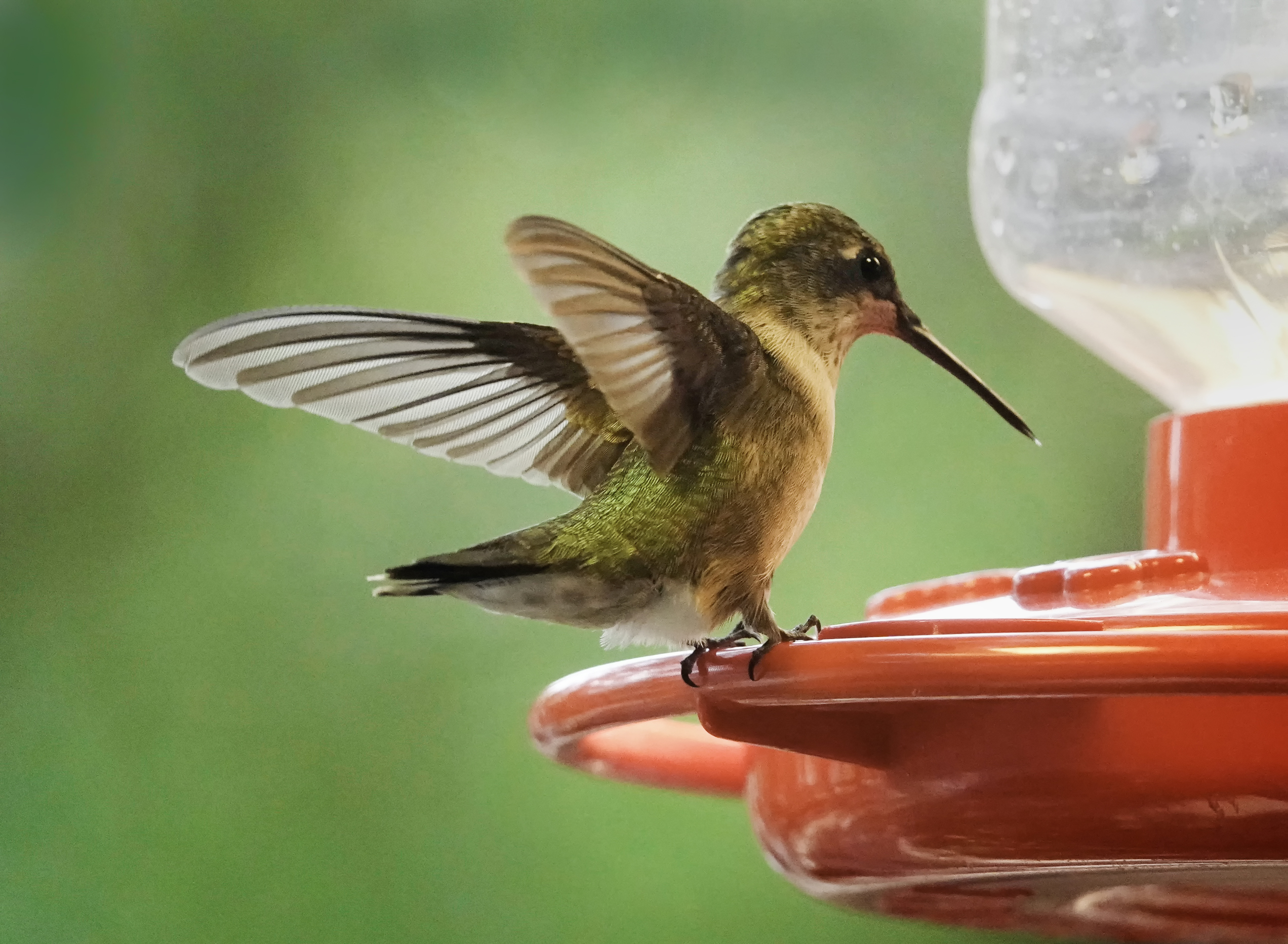 Divine Inspiration Photo #23A - Ruby-Throated Hummingbird #3 - 8 x 10