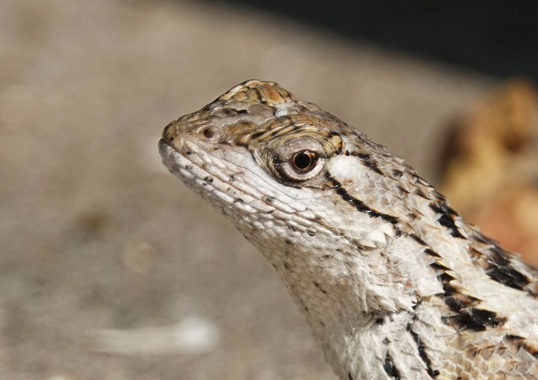 Divine Inspiration Photo #24A - Texas Spiny Lizard Close-Up - 8 x 10