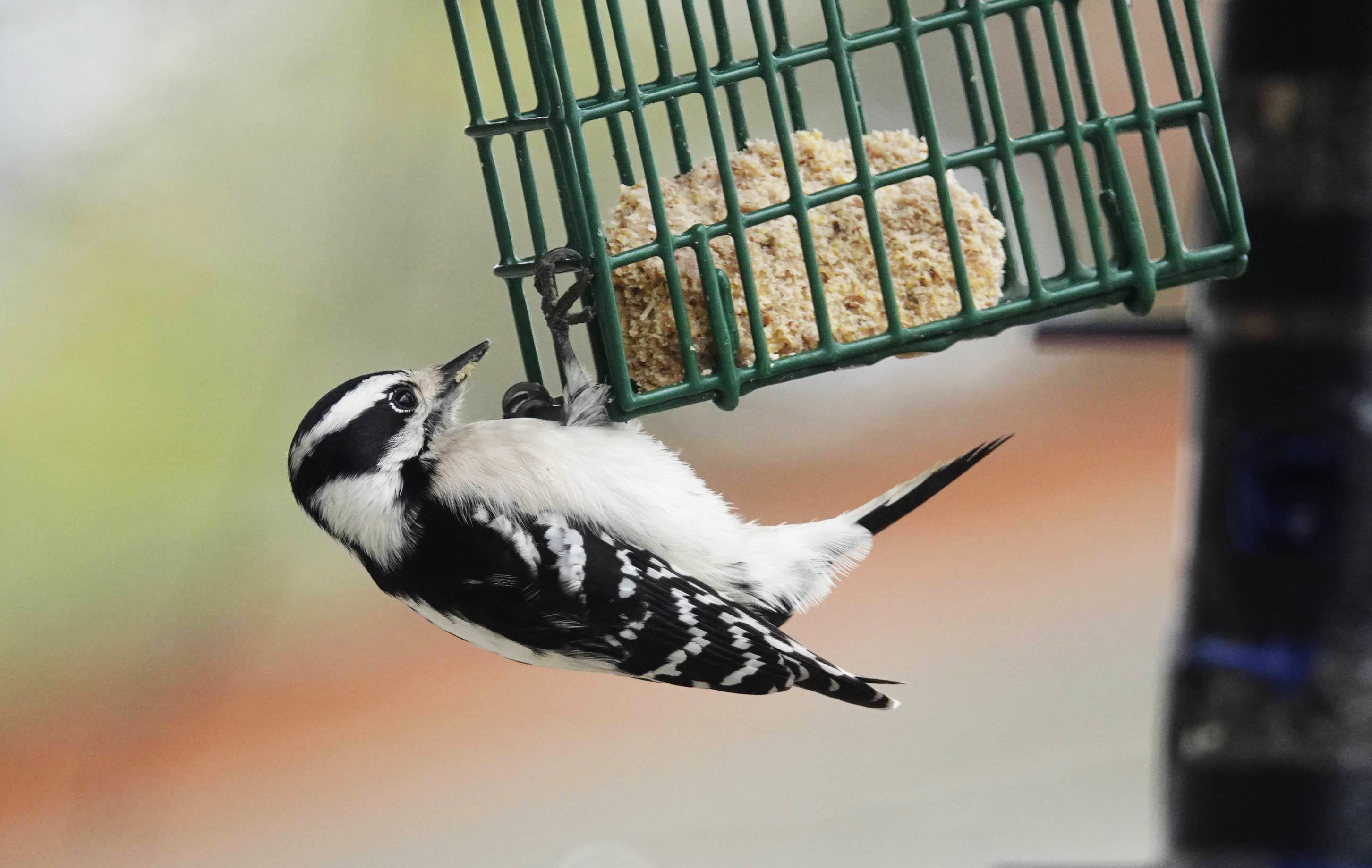 Divine Inspiration Photo #26A - Downy Woodpecker - 8 x 10