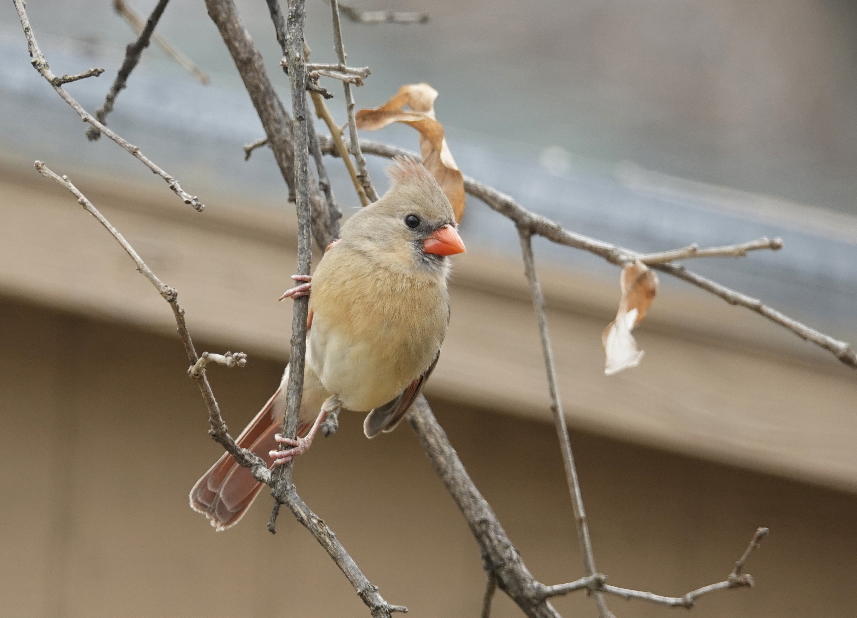 Divine Inspiration Photo #34A - Female Northern Cardinal - 8 x 10