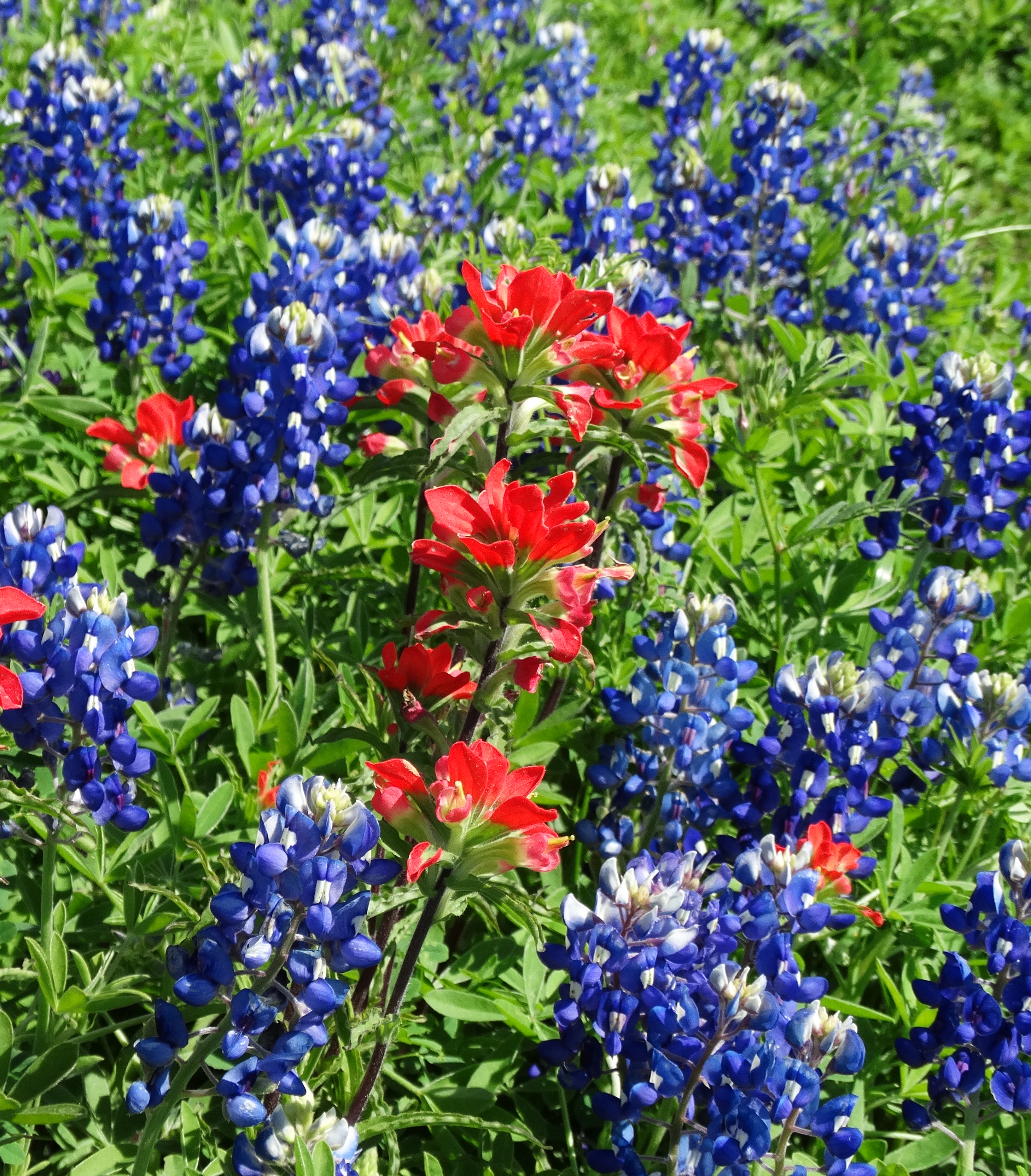 Divine Inspiration Photo #32A - Indian Paintbrush - 8 x 10