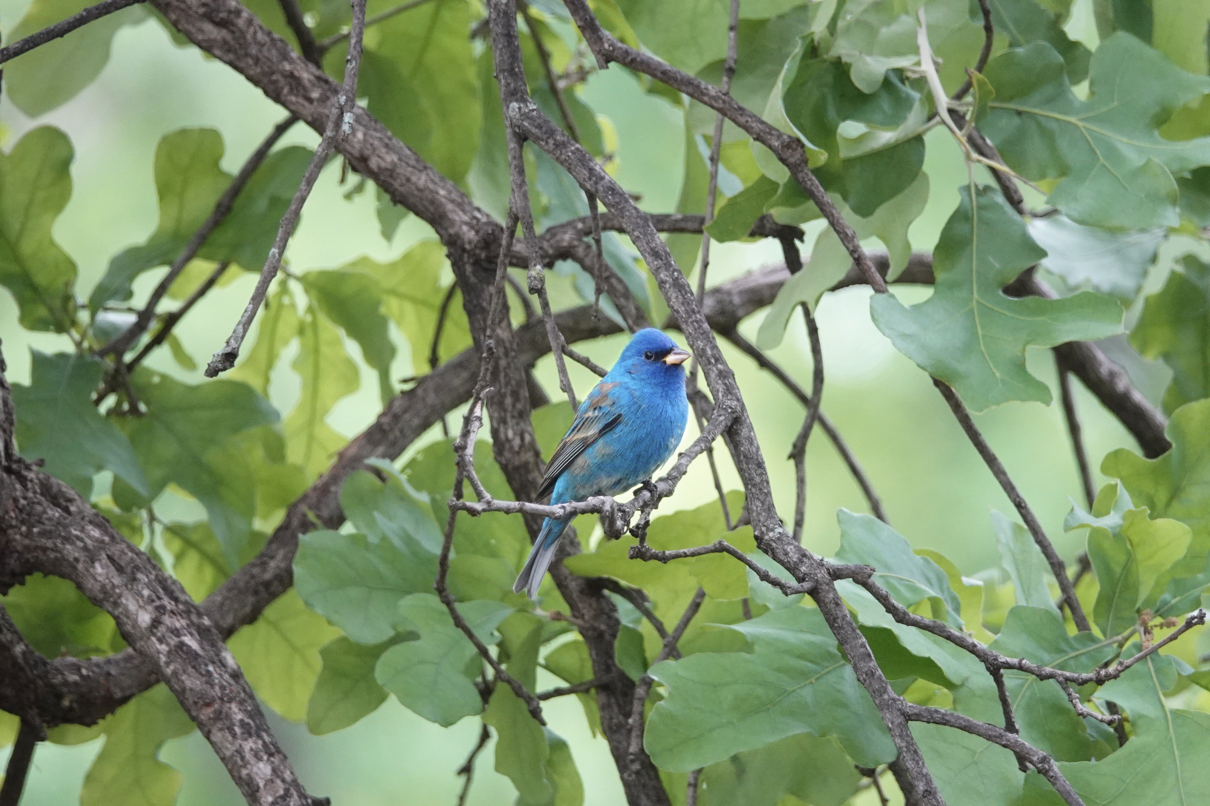 Divine Inspiration Photo #29A - Indigo Bunting in Tree - 8 x 10