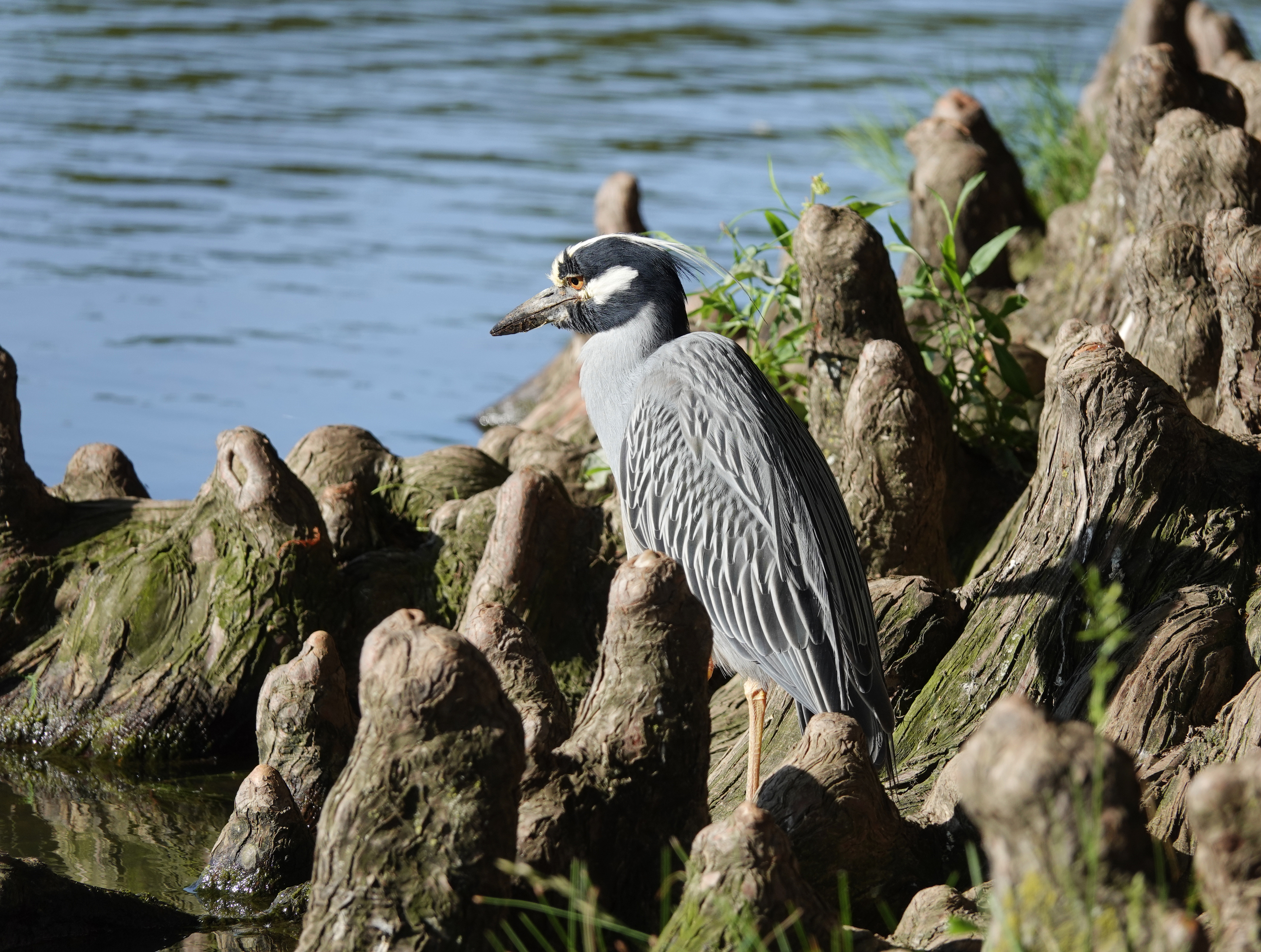 Divine Inspiration Photo #33A - Yellow-Crowned Night Heron - 8 x 10