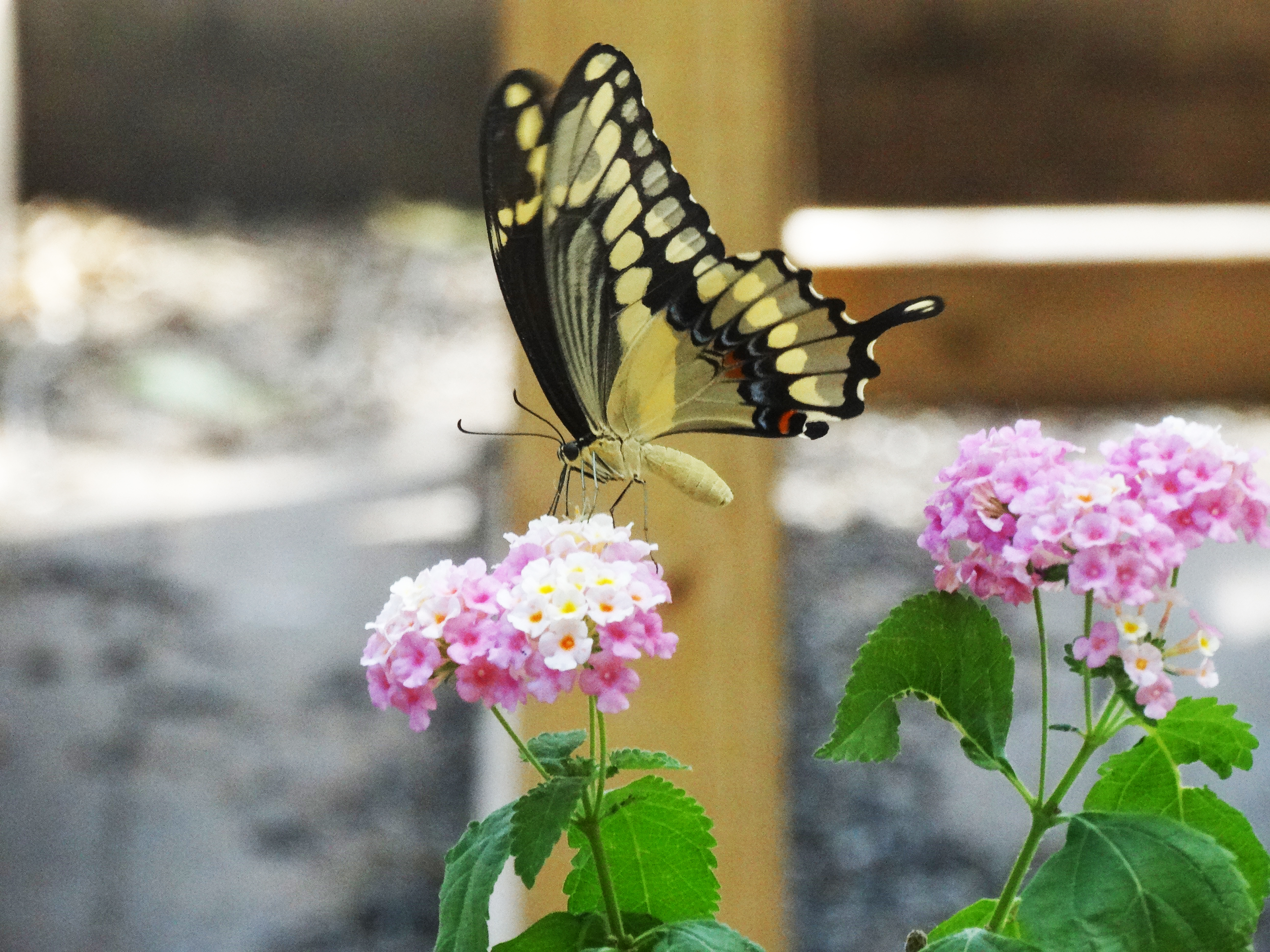 Divine Inspiration Photo #5A - Giant Swallowtail - 8 x 10