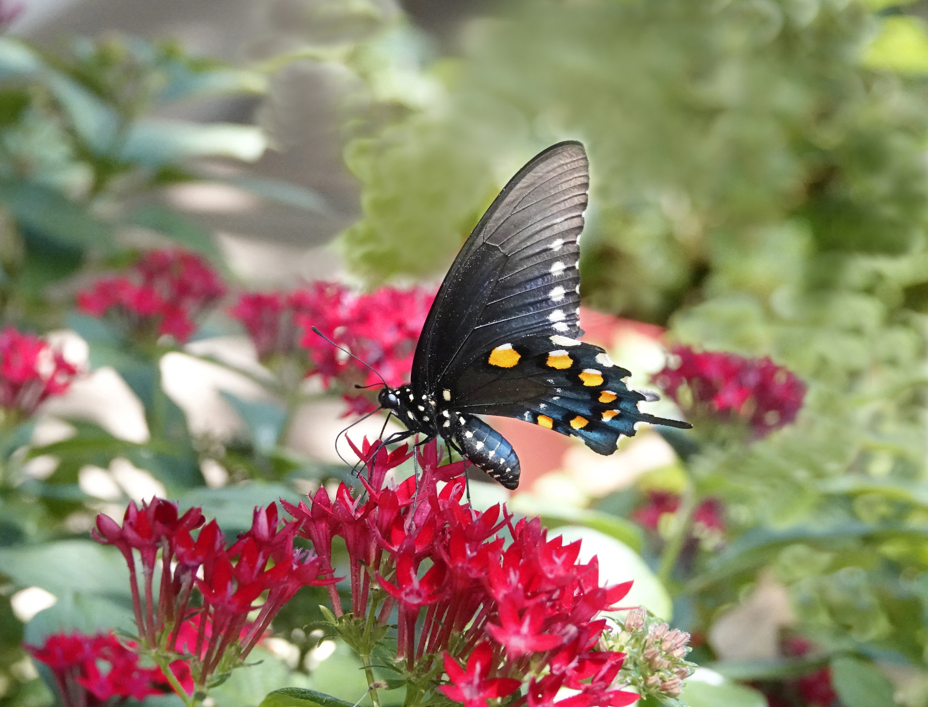 Divine Inspiration Photo #37A - Pipevine Swallowtail - 8 x 10